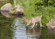 Wolf Puppy Drinking from Lake Stock Photography