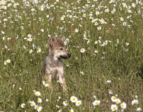 Wolf Puppy Portrait in Wildflowers Royalty Free Stock Image