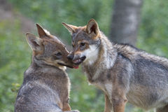 Wolf Puppy showing dominance to his brother. Puppies of 4 to 5 months old starting to request a place in the pack royalty free stock images