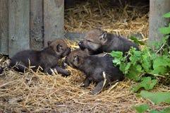 Wolf Pups Fotografia Stock