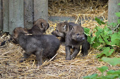Wolf Pups Immagini Stock Libere da Diritti
