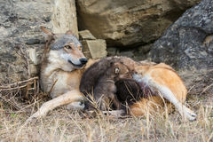 Wolf pups feeding on mother Royalty Free Stock Images