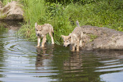 Wolf Pups at the Lake with Reflection Stock Photos
