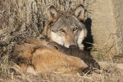 Wolf with pups near den Royalty Free Stock Image