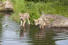 Wolf Pups nel lago con la riflessione Fotografie Stock