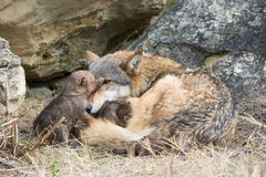 Wolf pups nursing on mother. At den site Stock Photography