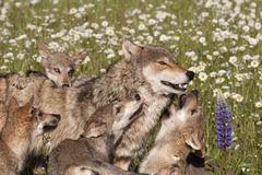 Wolf Pups Playing with Mom in Wildflowers Royalty Free Stock Photos