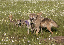 Wolf Pups Playing with their Mom Royalty Free Stock Photography