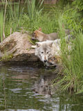 Wolf and Pups at the River Royalty Free Stock Image