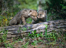 Wolf pups Stock Photography