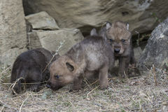 Wolf pups walking out of den Royalty Free Stock Image