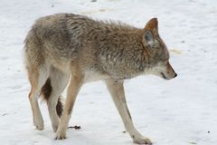Wolf in Quebec. Canada, north America. Wolf in Quebec. Canada north America stock photography