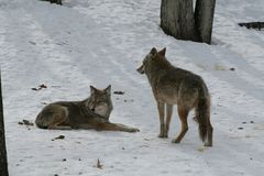 Wolf in Quebec. Canada, north America. Wolf in Quebec. Canada north America stock photos
