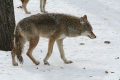 Wolf in Quebec. Canada, north America. Wolf in Quebec. Canada north America royalty free stock photos