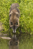 Wolf Reflection Fotografie Stock