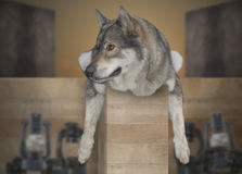 Wolf relax. Royalty Free Stock Images