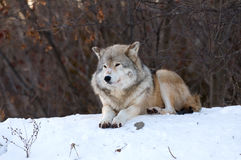 Wolf relaxing in the snow royalty free stock images