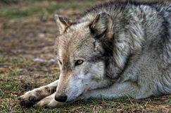 Wolf resting Stock Image