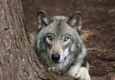 Wolf resting Stock Photography