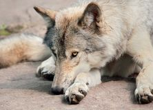 Wolf resting Stock Photos
