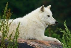 Wolf Resting On Rock ártico fotografía de archivo