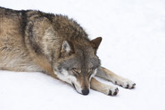 Wolf resting in snow. Wolf (Canis lupus) resting in the snow stock image