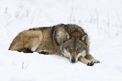 Wolf resting in snow Stock Images