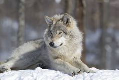 wolf resting in snow Stock Image