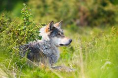 Wolf rests in the forest Stock Image