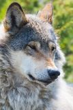 Wolf rests in the forest. Close up of a wolf in the norwegian summer forest Stock Image