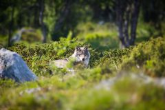 Wolf rests in the forest Royalty Free Stock Images
