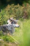 Wolf rests in the grass royalty free stock photos