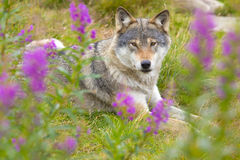 Wolf rests in a grass meadow with flowers Stock Photo