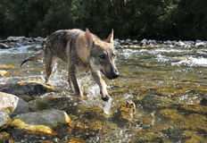 Wolf in a river Royalty Free Stock Image