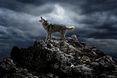 The wolf on the rock howls. A lone wolf sings his song on top at night royalty free stock photos