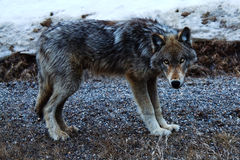 Wolf at Rock Moutain Royalty Free Stock Image