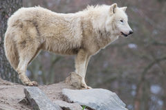 Wolf on the rock Royalty Free Stock Image