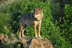 Wolf on rocks Stock Image