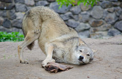 Wolf rolling on the ground Stock Photos