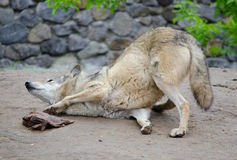 Wolf rolling on the ground Royalty Free Stock Photos