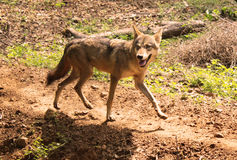 Wolf. Run  in the forest and listens Stock Image