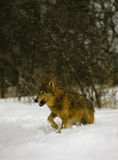 Wolf Running in Snow Royalty Free Stock Photos