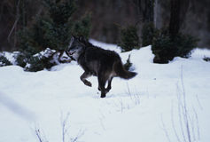 Wolf Running in Snow. A gray wolf running through snow in winter Stock Images
