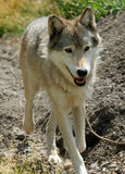 Wolf Running Towards Viewer. Timber Wolf running on trail towards viewer royalty free stock photography