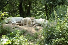 Wolf's  family. Royalty Free Stock Photo