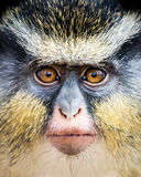 Wolf`s Guenon II Royalty Free Stock Photo