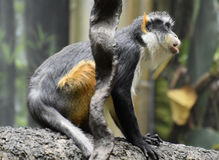 Wolf`s Guenon Monkey is a Member of the Primate Family Stock Photo