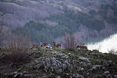 Apennine wolfs. A wolf`s herd on the lake barrea in the abruzzo national park in italy Royalty Free Stock Photo