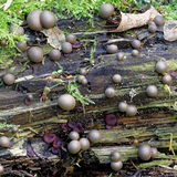 Wolf`s milk, Lycogala epidendrum. Known also as Groening`s slime Royalty Free Stock Images