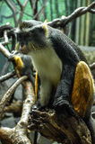 Wolf's mona monkey (Cercopithecus wolfi) Stock Photos